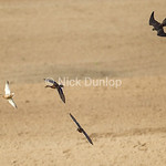 Rob Palmer's Immature Peregrine Chase 2