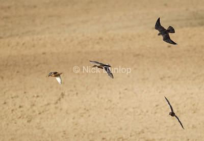 Rob Palmer's Immature Peregrine Chase 3