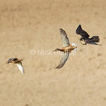 Rob Palmer's Immature Peregrine Chase 4