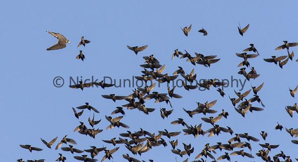 Falcons hunting Starlings 2018-2019