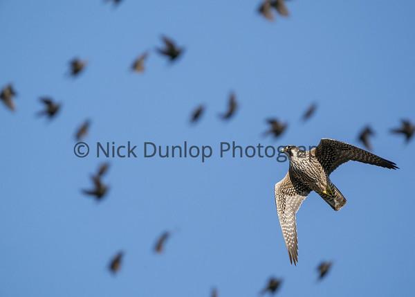 Falcons hunting Starlings 2019-2020