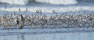 Shorebird attack 2