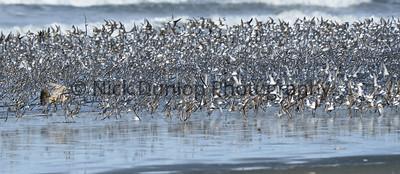 Shorebird attack 1