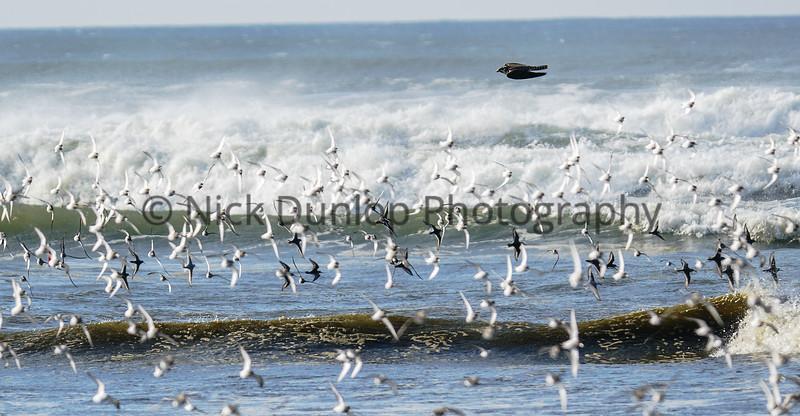 Shorebird attack 11