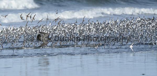 Shorebird attack 4