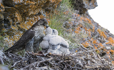 Gyrfalcon mom and young 2