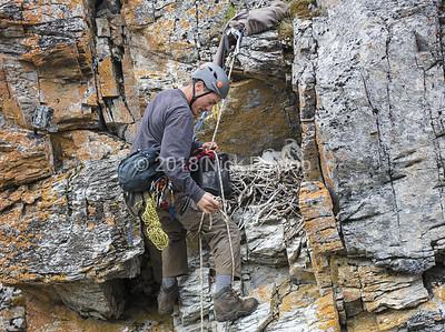Mike climbs a Gyrfalcon Eyrie