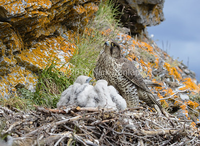 Gyrfalcon mom and young 1