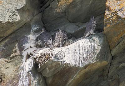 Young falcon foursome