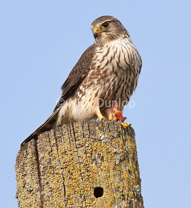 Female Taiga Merlin with Blackbird 2