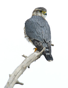 Adult Male Taiga Merlin 2