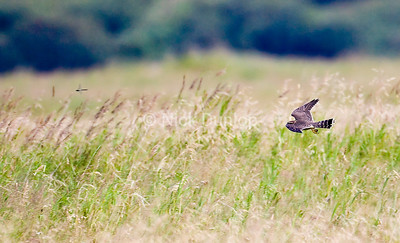 Merlin and dragonfly