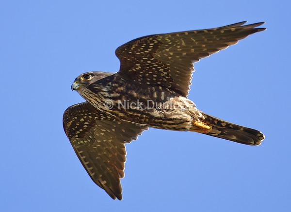 Black Merlin in flight