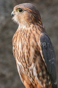 Adult Male Taiga Merlin