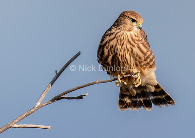 Immature Richardson's or Prairie Merlin 1