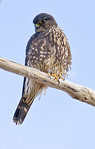 Female Black Merlin