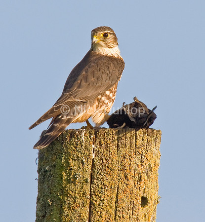 Female Taiga Merlin with blackbird