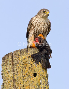 Female Taiga Merlin with Red-Wing Blackbird