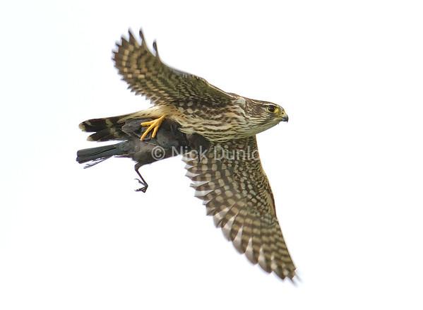 Taiga Female Merlin with Cowbird or Female Brewer's Blackbird