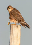 Immature Richardson's or Prairie Merlin 3