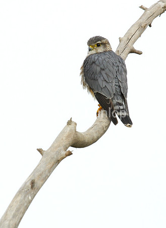 Adult Male Taiga Merlin 1