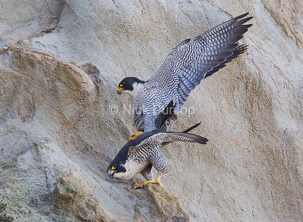 Mating Falcons