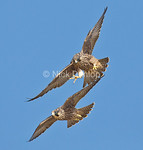 Peregrine Flight School 5