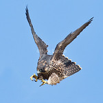 Peregrine Flight School 4
