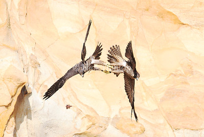 Two young Peregrine Falcons lock talons and let go of the food they were fighting over.
