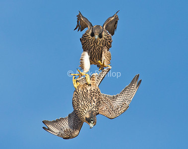 Peregrine Flight School 1