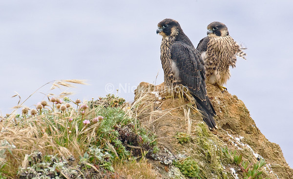 This was used by the Peregrine Fund for a calendar cover
