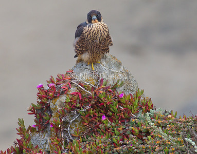 Falcon and Iceplant
