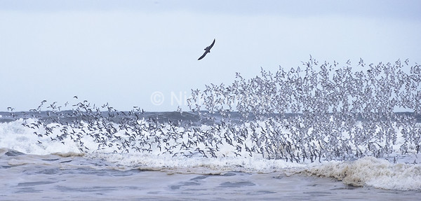 Shorebird attack 1