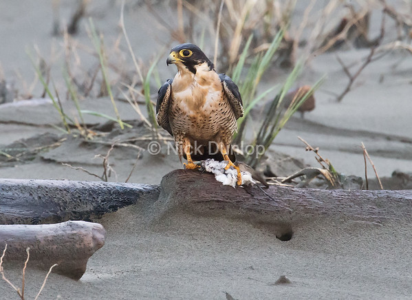Adult male with a shorebird. Notice how wet he is after hunting among the waves.