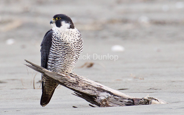 I love the black and white coloring of Peales falcons.