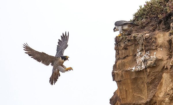 Peregrine pair 2, taken from a blind