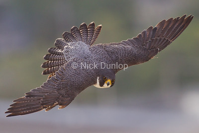 This is San Jose's City Hall Male Peregrine