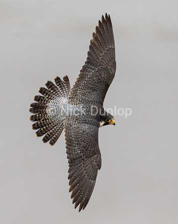 Adult male Peregrine in flight