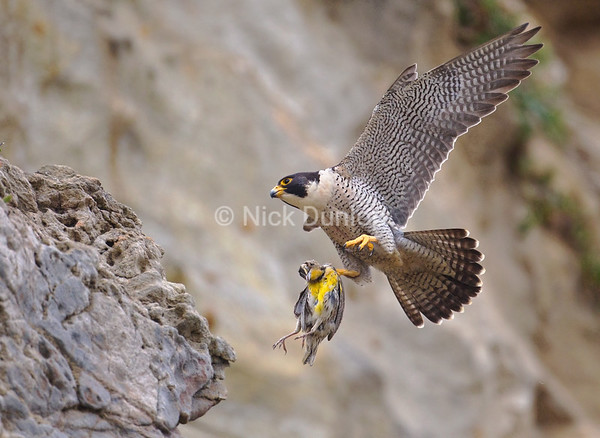 Adult male peregrine with a western meadowlark