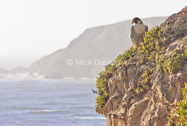 Peregrine environmental image.