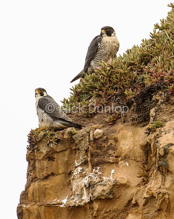 Peregrine pair, taken from a blind