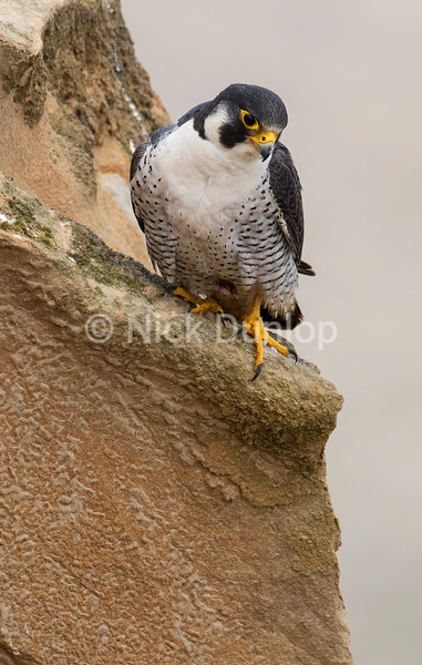 Male Peregrine 3 Portrait