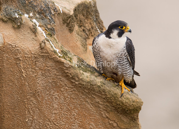 Male Peregrine Portrait 2