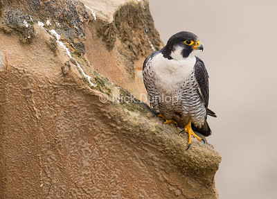 Male Peregrine Portrait 2, taken from a blind