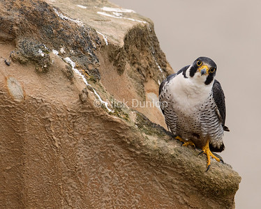 Male Peregrine Portrait 1, taken from a blind