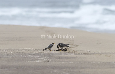 This sequence of images shows a peregrine pair sharing a kill and what is really interesting is to see the female feeding her mate. Never seen this before.