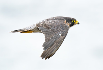 Floater female falcon 1