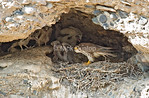 Praire Falcon Family. This famliy lived in an area loaded with lizards which was a major food sourch.