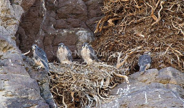 This prairie family reused one of three golden eagle nests on this cliff.