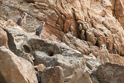 Just out-of-the nest young Prairie Falcons. We found this family of falcons while looking to photograph snakes.